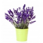 11554725-bouquet-lavender-in-pot-over-white-background